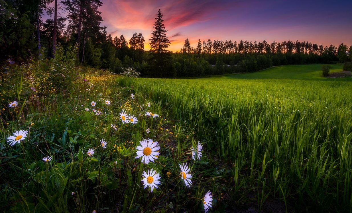Фото бесплатно закат, поле, деревья, трава, цветы, ромашки, пейзаж, Финляндия, пейзажи