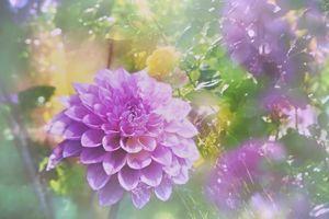 Фото бесплатно георгины, флора, красочные