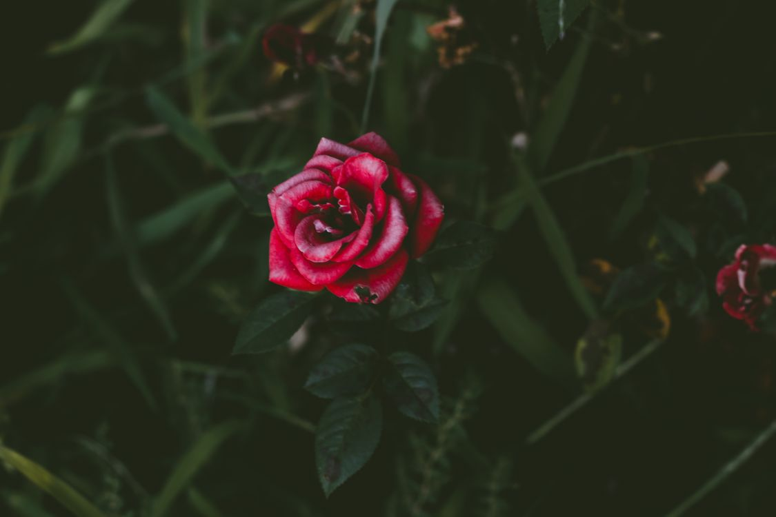 Фото бесплатно роза, бутон, куст - на рабочий стол
