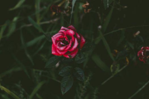 Обои роза,бутон,куст,лепестки,rose,bud,bush,petals