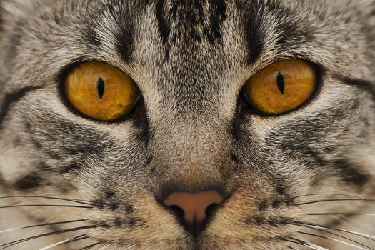 Photo free american shorthair, muzzle, cat