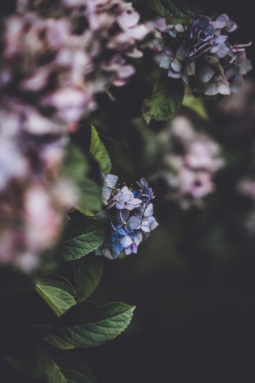 Фото бесплатно гортензия, пурпурные цветы, размытый фон - на рабочий стол