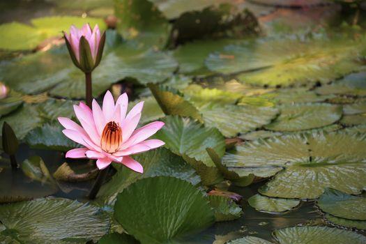 Фото бесплатно водяная лилия, красивые цветы, пруд