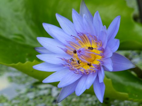 Photo free water lilies, Water Lilies, pond