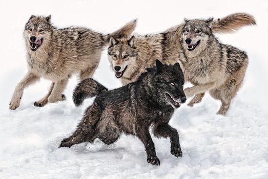 Фото бесплатно волки, зима, стая