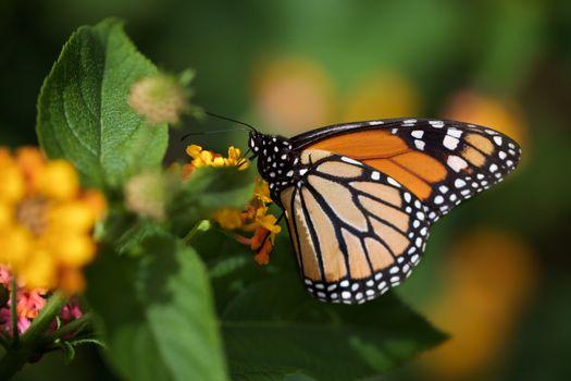 Фото бесплатно животные, монархическая бабочка, насекомые