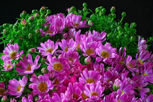 Фото бесплатно флора, Chrysanthemum, бутоны