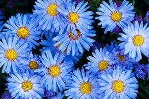 Заставки растение, цветок, лепесток, маргаритка, синий, сад, Флора, синий цветок, цветы, астра, цветник, астры, садовый, голубые цветы, цветущее растение, ромашка, маргаритная ромашка