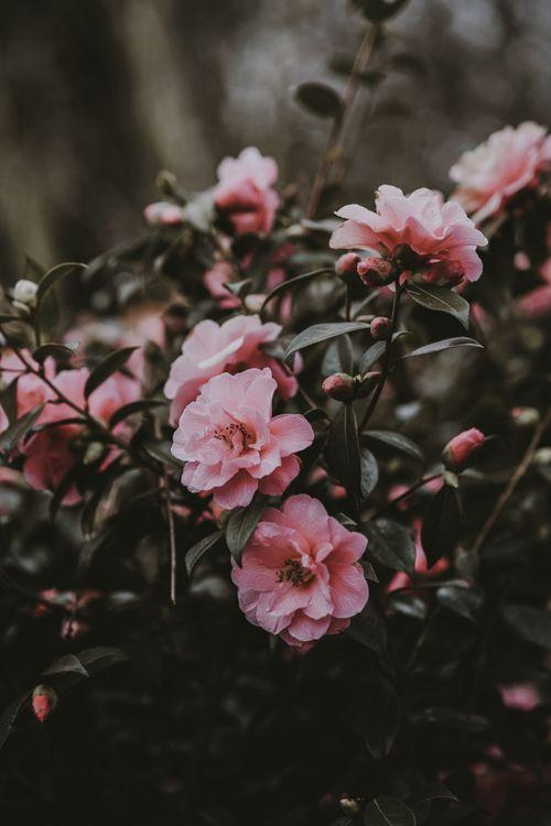 Фото бесплатно дикая роза, куст, розовый, цветы, wild rose, bush, pink, flowers, цветы