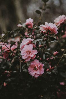 Фото бесплатно дикая роза, куст, розовый