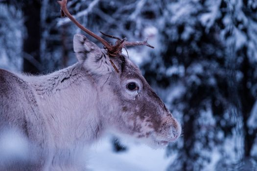 Photo free deer, opinion, picture