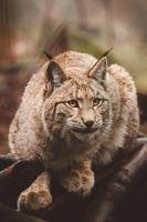 Фото бесплатно рысь, хищник, сидит