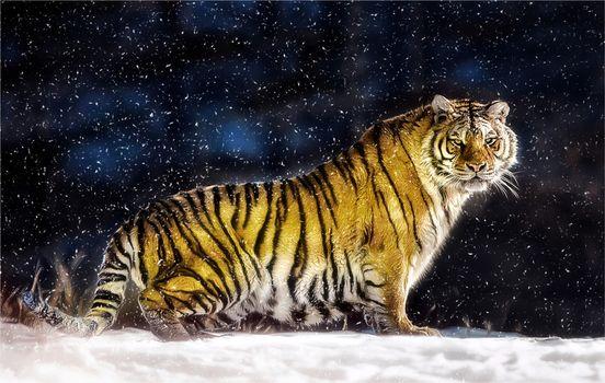 Фото бесплатно большая кошка, тигр, снег