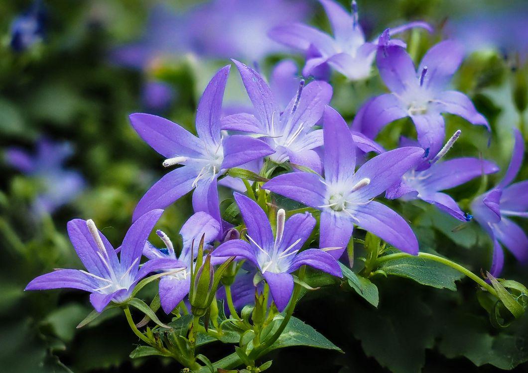 Фото бесплатно Campanula, колокольчик, цветы, цветок, флора, цветы