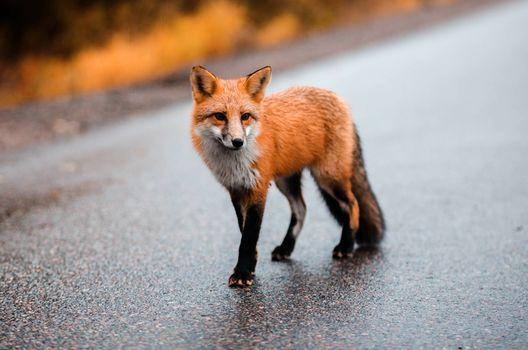 Фото бесплатно лиса, хищник, дорогой
