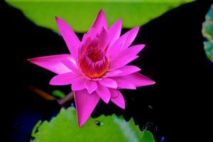 Фото бесплатно цветы, красивый цветок, водяная лилия