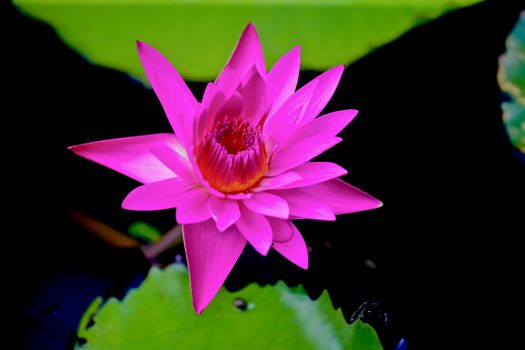 Photo free flowers, beautiful flower, water lily