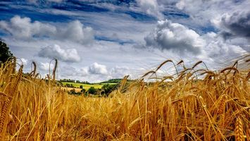 Фото бесплатно поле, колосья, пейзаж