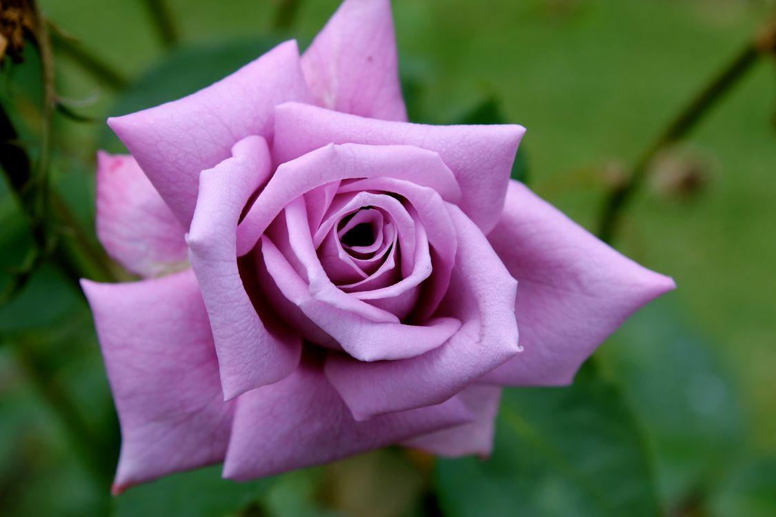 Фотки розы картинки