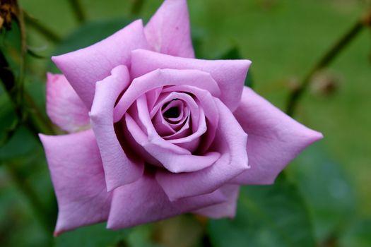 Роза · бесплатное фото