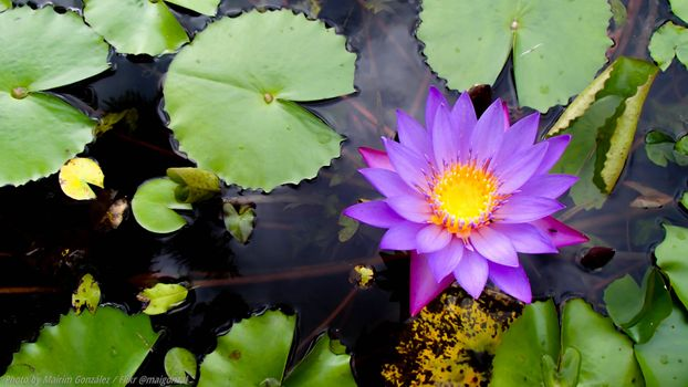 Photo free flower, water lily, water beauty