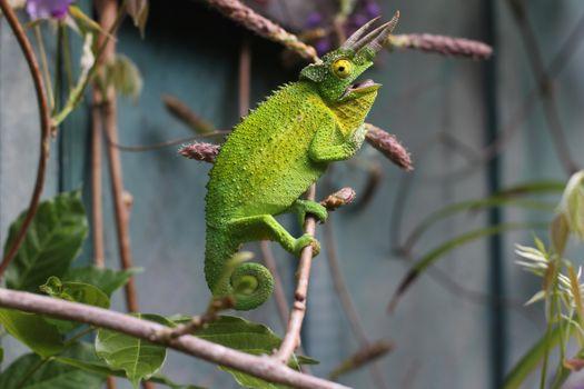 Фото бесплатно хамелеон, зеленая ящерица, рептилия