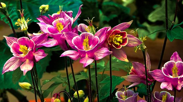 Фото бесплатно Цветок, аквилегия, Водосбор