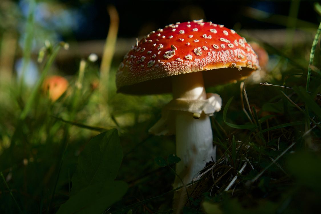 Фото природа красный мухомор - бесплатные картинки на Fonwall