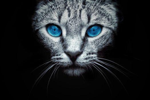 Photo free cat, muzzle, blue eyes