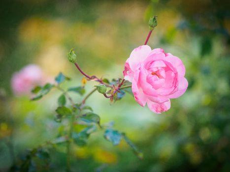 роза,цветок,флора