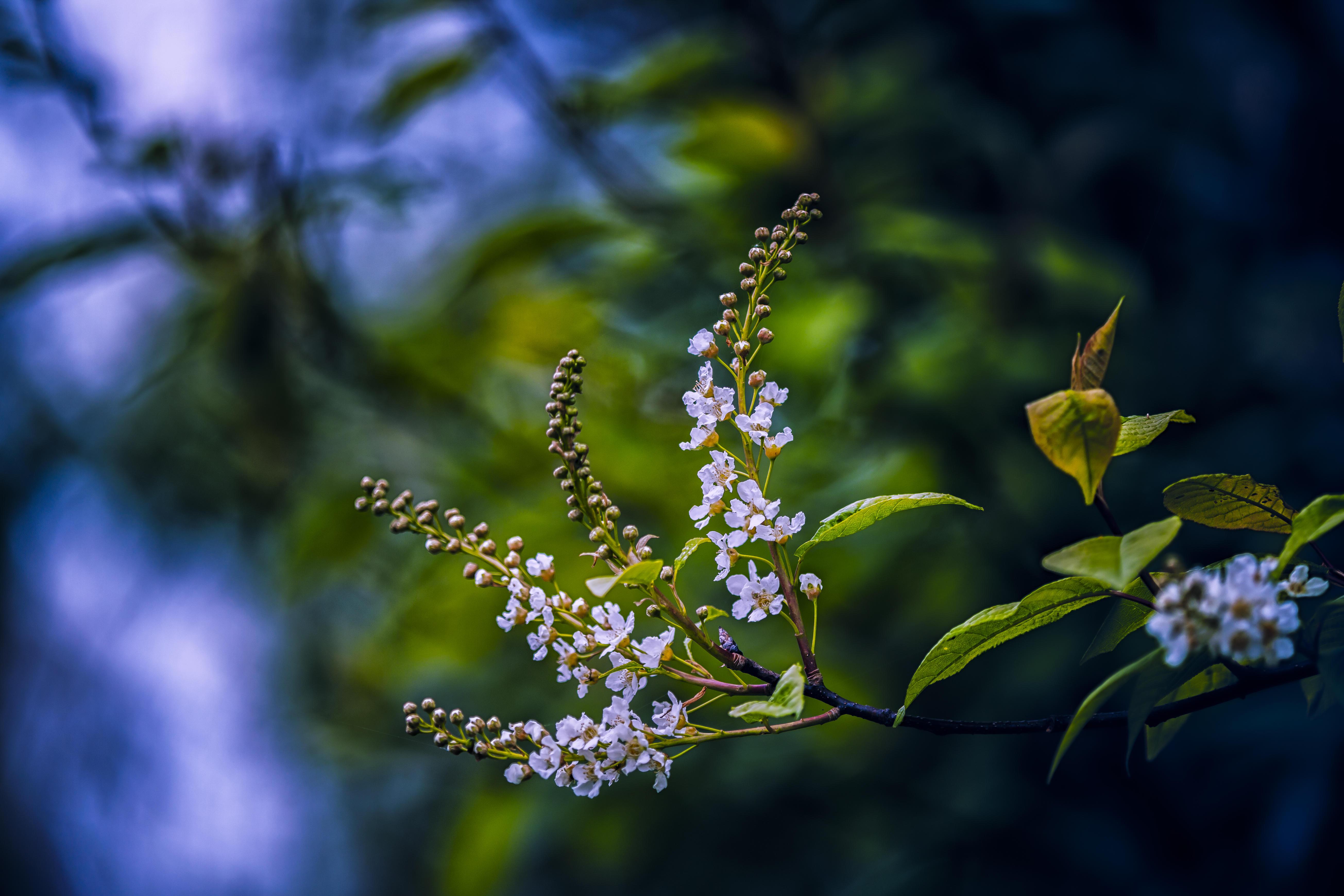 Обои ветка, листья, цветы, черёмуха