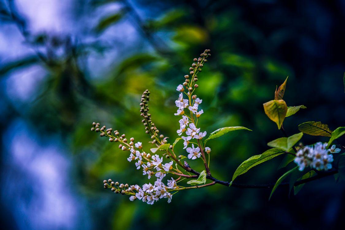 Фото бесплатно ветка, листья, цветы, черёмуха, флора, природа - скачать на рабочий стол