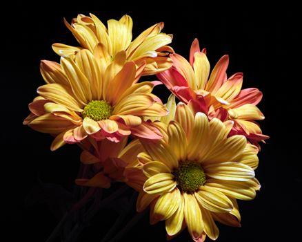 Фото бесплатно цветок, хризантемы, макросъемка