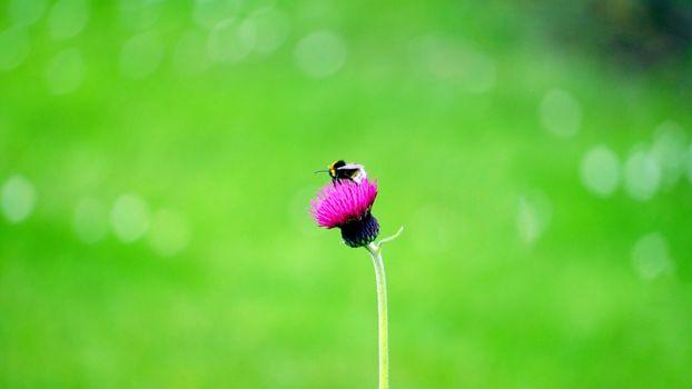 Фото бесплатно шмель, цветок, пчела