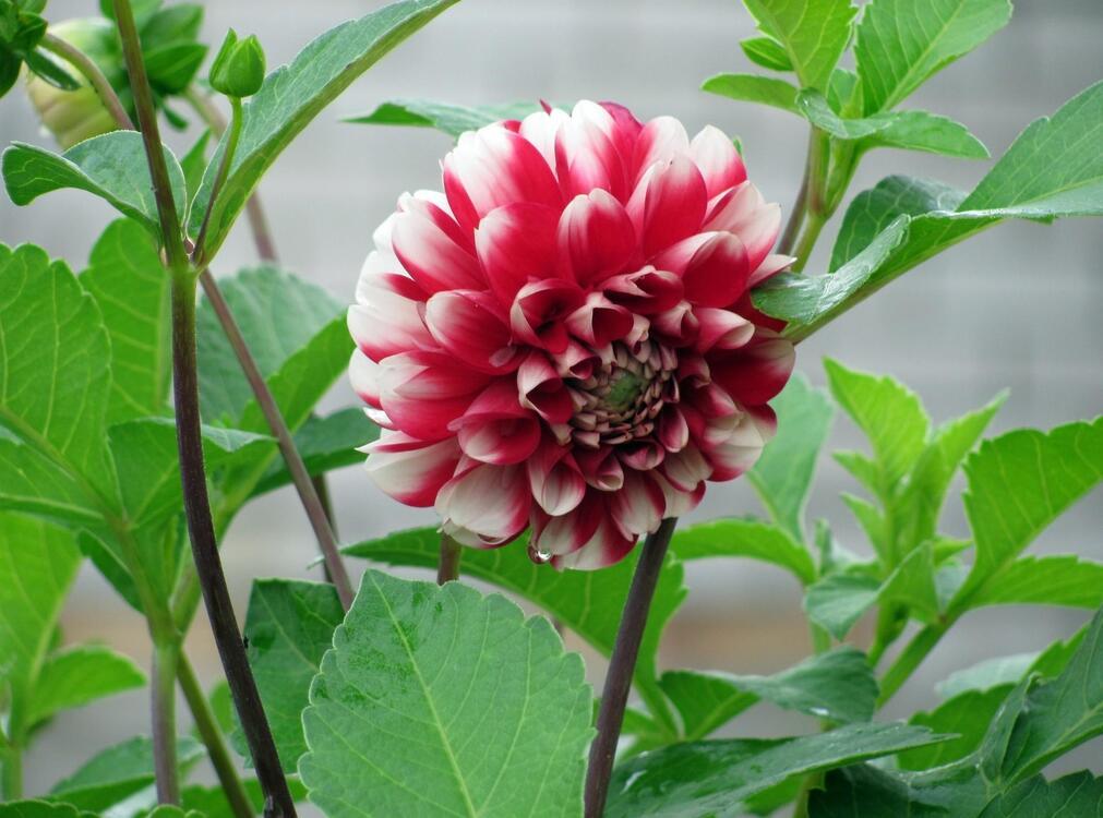 Фото георгина цветок бутон - бесплатные картинки на Fonwall