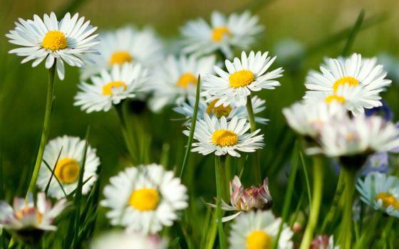 Фото бесплатно ромашки, размытый фон, растения
