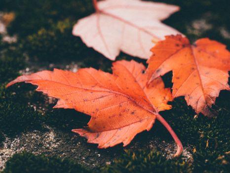 Photo free maple tree, nature, season