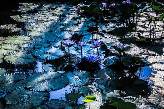 Photo free beautiful flower, water lilies, Water Lilies
