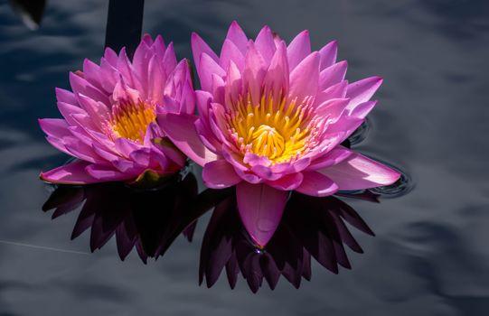 Photo free water-lilies, flowers, beautiful flowers