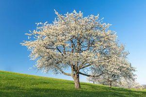 Бесплатные фото поле,дерево,цветение,холм,весна,пейзаж