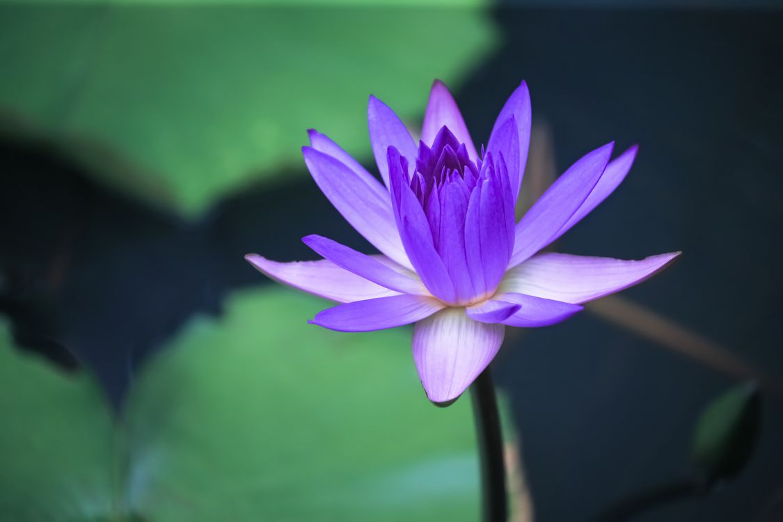 Free photo flora, water beauty, water lily - to desktop
