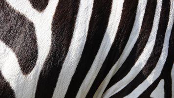 Фото бесплатно текстуры, зебра, животные