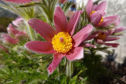 Фото бесплатно цветы розового цвета, макросъемка, цветы