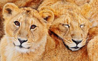 Фото бесплатно лев, дикая природа, пара
