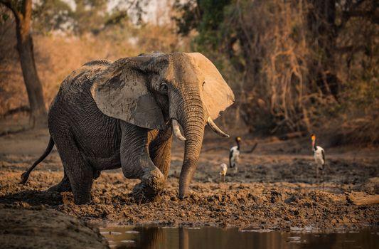 Photo free elephant, birds, water