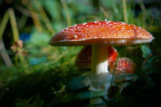 Фото бесплатно грибы крупным планом природа, грибы природа, мухомор