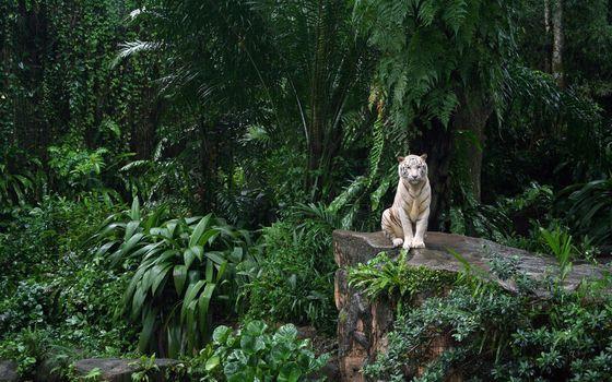 Заставки белый тигр, лес, сидячий