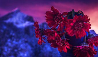 Фото бесплатно герберы, цветы, цветок