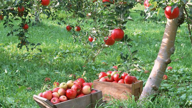 Photo free apple, flowers, tree