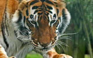 Фото бесплатно усы, тигр, полосатый